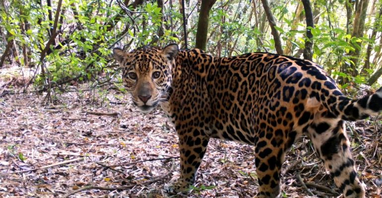 Projeto Onças do Iguaçu, em Foz do Iguaçu, atua na preservação das onças-pintadas e está com campanha para ajudar animais no Pantanal (Foto Onças do Iguaçu Imagem cedida)