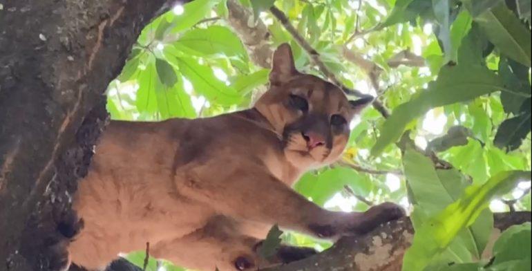 Onça-parda é encontrada em cima de árvore, em São Miguel do Iguaçu (Foto Portal Costa Oeste)